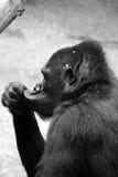 Denkender Affe lizenzfreie stockfotografie
