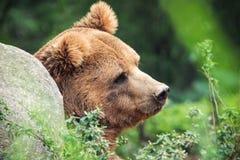 Denkender Bär stockfotografie