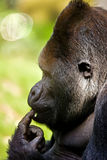 Denkender Gorilla Stockfoto