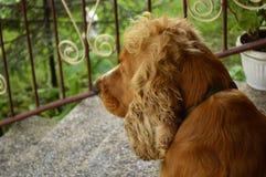 Denkender Hund Stockfotografie