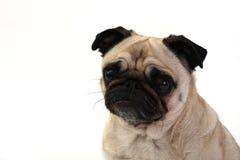 Denkender Pug Stockbilder