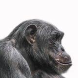 Denkendes Schimpanseporträt lokalisiert auf weißem Hintergrund Stockbilder