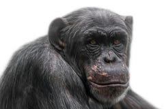Denkendes Schimpanseporträt lokalisiert auf weißem Hintergrund Lizenzfreie Stockbilder