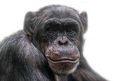 Denkendes Schimpanseporträt lokalisiert auf weißem Hintergrund Stockbild
