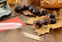 Denkerkastanie erscheint in der Herbstzeit mit thooth Stöcken Stockfoto