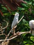 denkrönade kakaduan eller mindre sulphur-krönade kakaduan sitter på en filial arkivbild