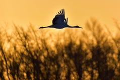 Denkrönade kranen i flykten på den röda solnedgånghimmelbakgrunden Royaltyfri Bild