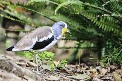 Vit-krönad Lapwing (Vanellusalbiceps) Royaltyfri Bild