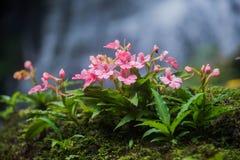 DenLipped habenariaen (rosa färgen plötsliga Dragon Flower) grundar i tro Arkivfoton