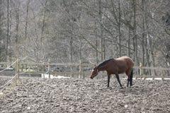 denmak zimy koni. Zdjęcie Stock