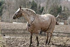 denmak zimy koni. Zdjęcie Royalty Free