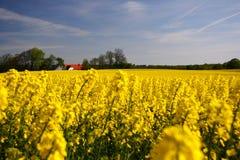 Denmark Rapes field Royalty Free Stock Photos