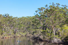Denmark River in Australia. A kayaker paddles through indigenous forest on the Denmark River, which flows through the town of Denmark in Western Australia Stock Photo