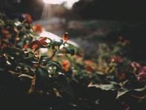 Denna är den orange blomman på soluppgångljuset, den mjuka signalen, selektiv fokus Fotografering för Bildbyråer