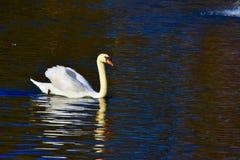 Denna är den verkliga svan sjön royaltyfria foton