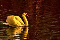 Denna är den verkliga svan sjön royaltyfria bilder