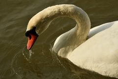 Denna är den verkliga svan sjön royaltyfri bild
