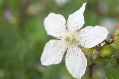 Wild blomma av taggar Arkivfoton