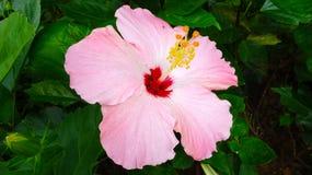 Denna är en härlig kinesisk ros arkivfoto