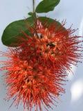 Denna är en röd blomma ser som frukt arkivbilder