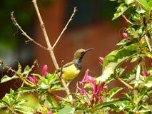 Denna är en Sunbird royaltyfria bilder