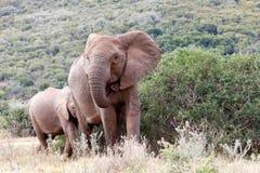 Denna är min husafrikanBush elefant Royaltyfri Fotografi