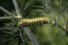 Svart Swallowtail Caterpillar Arkivfoton