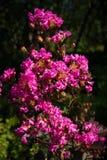 Fushia blommor Arkivbild