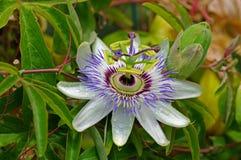 Denna är Passifloracaeruleaen, den blåa passionsblomman, Fotografering för Bildbyråer