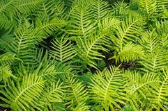 Denna är Polypodiumcambricumen, den sydliga polypodyen eller den walesiska polypodyen Royaltyfri Fotografi