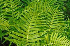 Denna är Polypodiumcambricumen, den sydliga polypodyen eller den walesiska polypodyen Fotografering för Bildbyråer