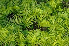 Denna är Polypodiumcambricumen, den sydliga polypodyen eller den walesiska polypodyen Arkivfoton