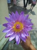 Denna bild är den lösa blomman av Sri Lanka på templet arkivfoto