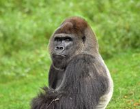 Denna gorilla är huvudet av hans grupp Arkivfoto