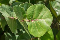 Denna Gronowa roślina fotografia stock