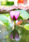 Denna härliga näckros- eller lotusblommablomma Arkivbilder