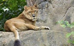 Denna lejoninna är avslappnande i solen som är hög på en vagga Royaltyfri Fotografi