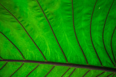 Denna ljusa och varma djungelgrönska är ett jätte- blad i en naturlig trädgårds- inställning Denna abstrakta bild av den stora de Arkivbilder