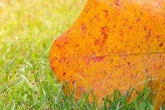 Denna ljusa och varma djungelgrönska är ett jätte- blad i en naturlig trädgårds- inställning Denna abstrakta bild av den stora de Royaltyfri Bild