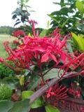Denna naturliga röda blomma dess mycket trevligt att se arkivfoto