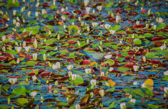 Purpurfärgade Gallinule blandningar in med marshen Arkivfoto