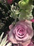 Denna ros är rosa royaltyfri bild