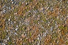 Denna skorupa i ślimaczek skorupa zakrywająca z algami na plaży Fotografia Royalty Free
