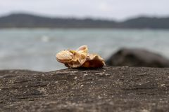 Denna skorupa na powulkanicznym kamieniu nadmorski Relaksujący denny widok i seashell Biała skorupa na czerń kamieniu blisko morz Zdjęcia Stock
