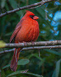 Male nordlig kardinal Arkivbild