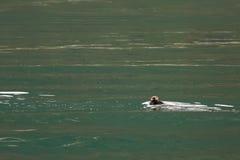 Denna wydra w Pacyficznym oceanie Wodny teren blisko półwysepa kamczatka Obrazy Royalty Free