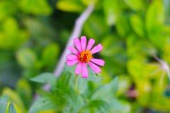 Denna zinnia blommar mer härlig än blommor av fans som hade fotografering för bildbyråer