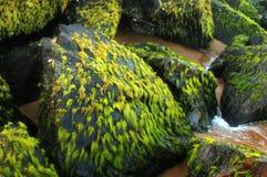 Denne algi Obraz Stock