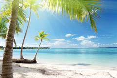 denne karaibskie palmy