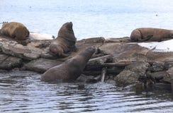 Denne słyszące foki na molu Zdjęcie Stock